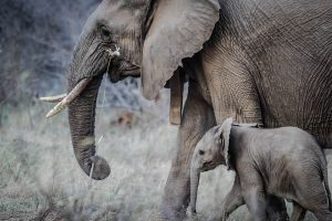 Elephant tusk is now illegal for parts