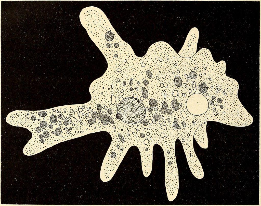 Amoeba Proteus