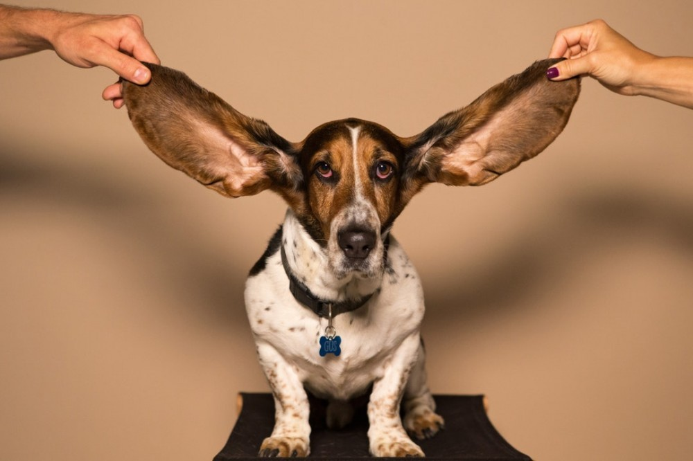 Even dog ears can hear that drums not tuned!